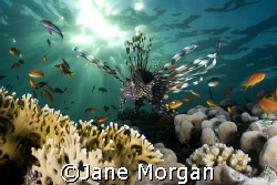Lionfish at sunset. by Jane Morgan 